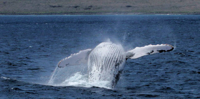Humpback Whales in Galapagos Islands - Best Season