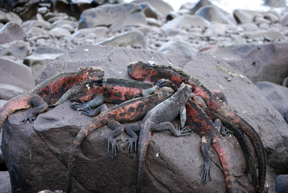 Marine Iguanas in Galapagos Islands - Best Season