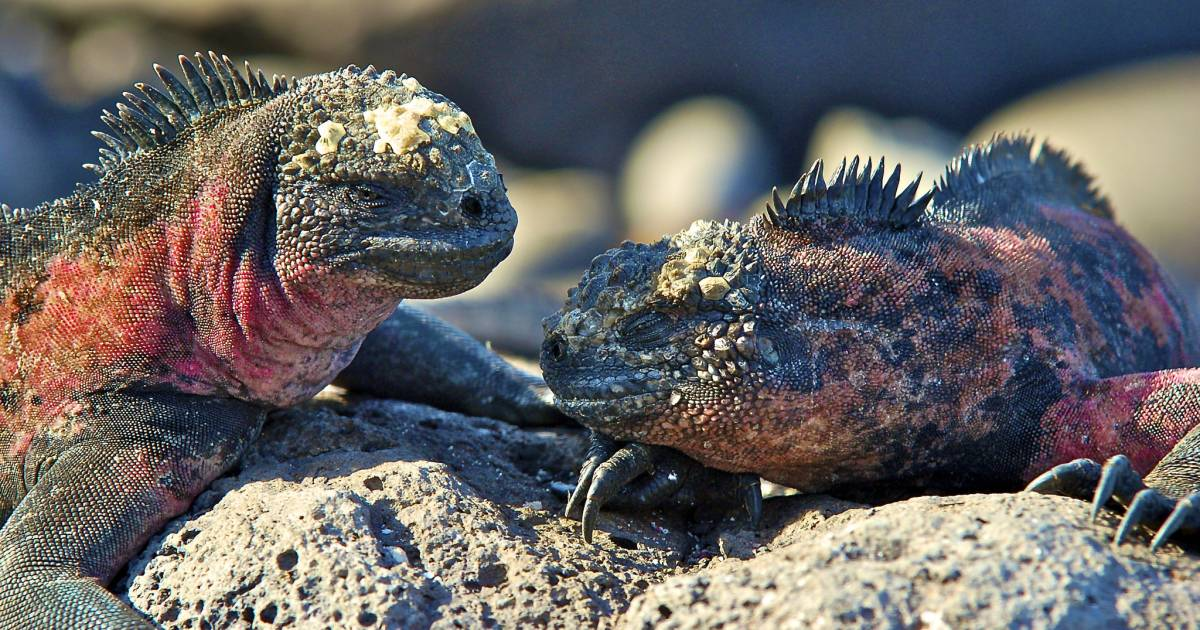 Marine Iguanas in Galapagos Islands - Best Time