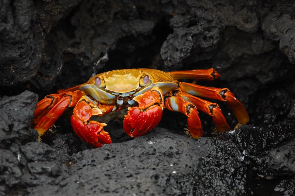 Red Rock Crab in Galapagos Islands - Best Time