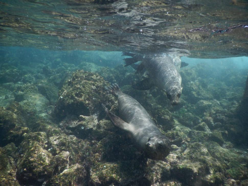 Snorekelling with Sea Lions Pups in Galapagos Islands - Best Season
