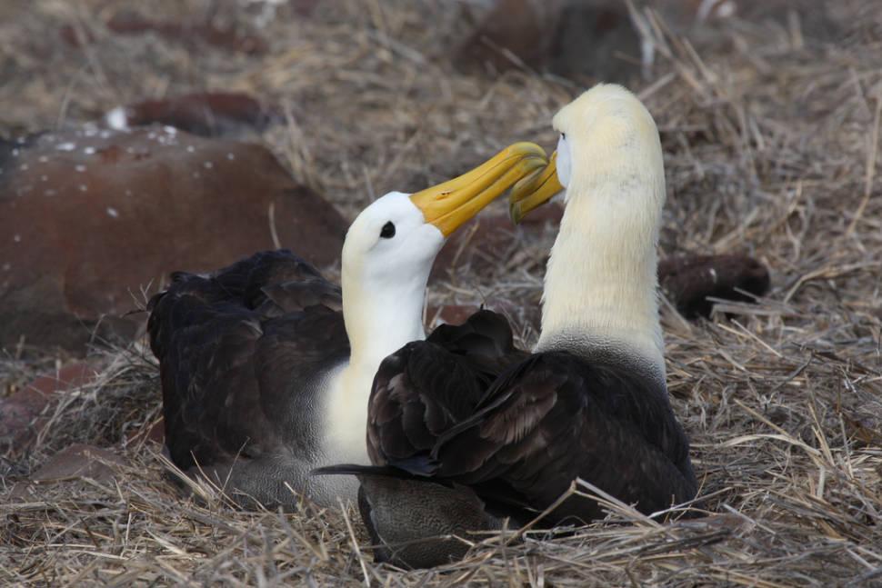 Waved Albatross in Galapagos Islands - Best Season