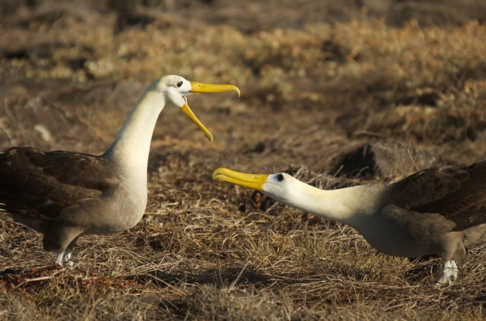 Waved Albatross in Galapagos Islands - Best Time