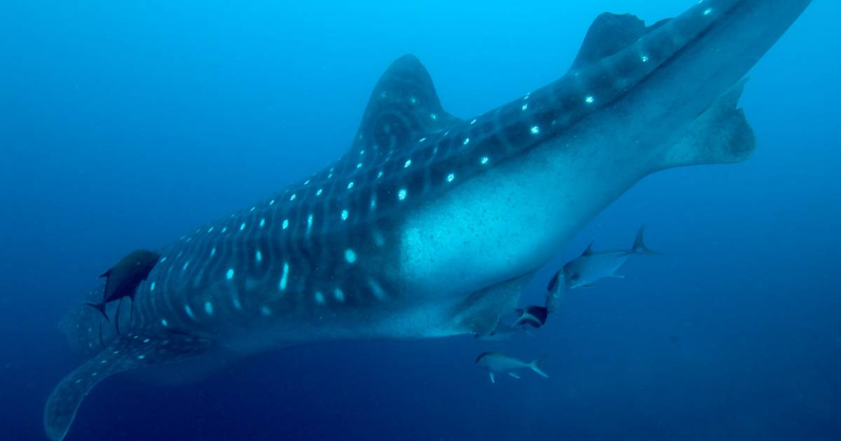 Whale Sharks in Galapagos Islands - Best Time