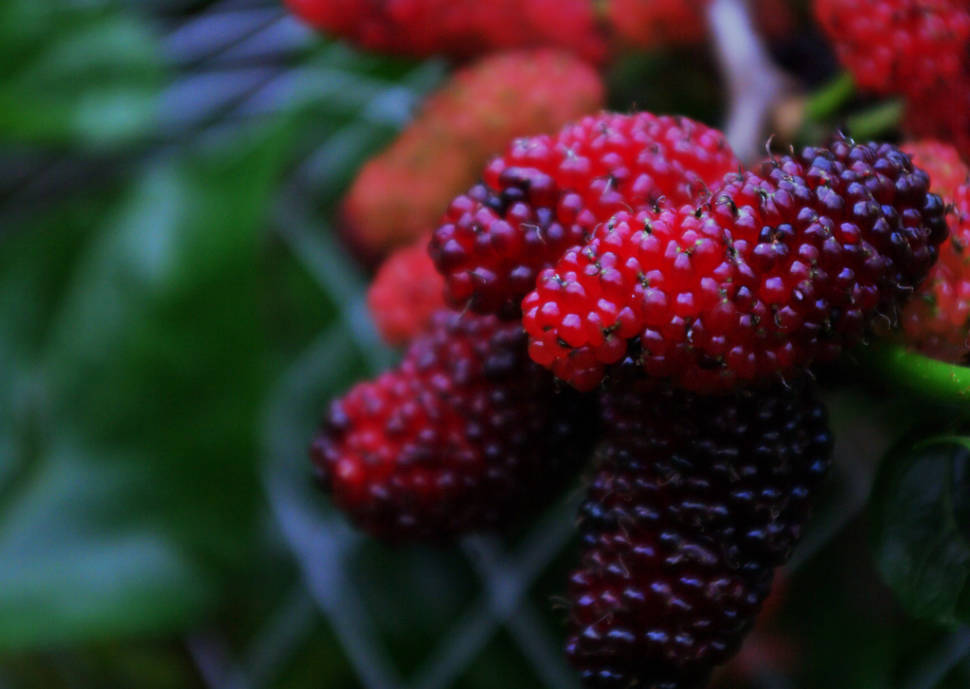 Mulberry Season in Georgia - Best Time
