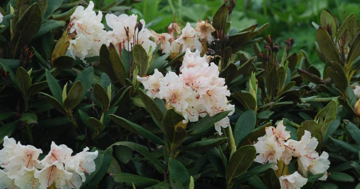 Rhododendron Flowers in Georgia - Best Time