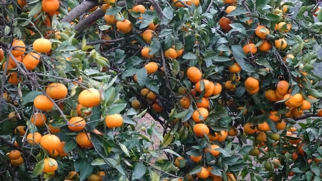 Tangerine Season in Georgia - Best Time