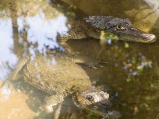 Crocodile Watching