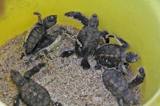 Hatching Turtles
