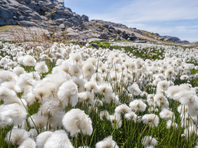 Cotton grass in Kulusuk, Greenland