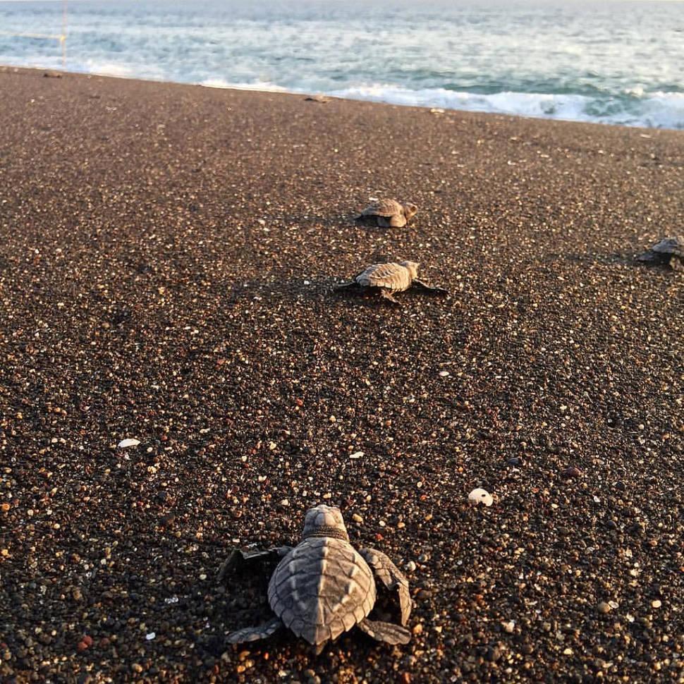Baby turtles in Monterrico