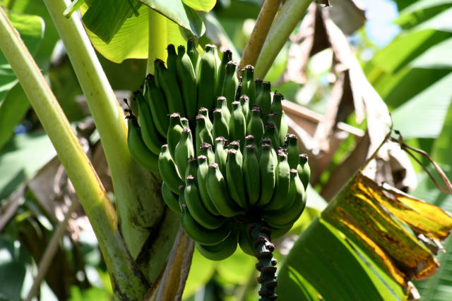 Apple Bananas in Hawaii - Best Time