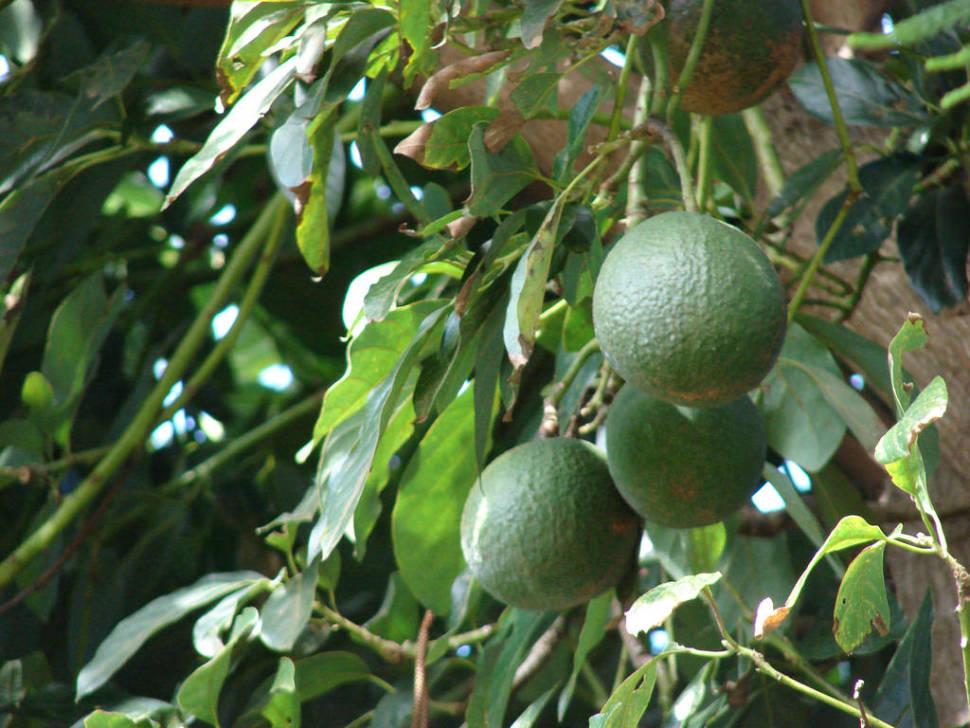 Avocado in Hawaii - Best Season