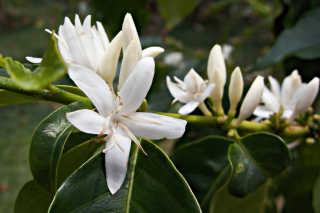 Kona Coffee Blossom or 'Kona Snow'