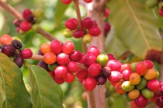 Kona Coffee Harvest