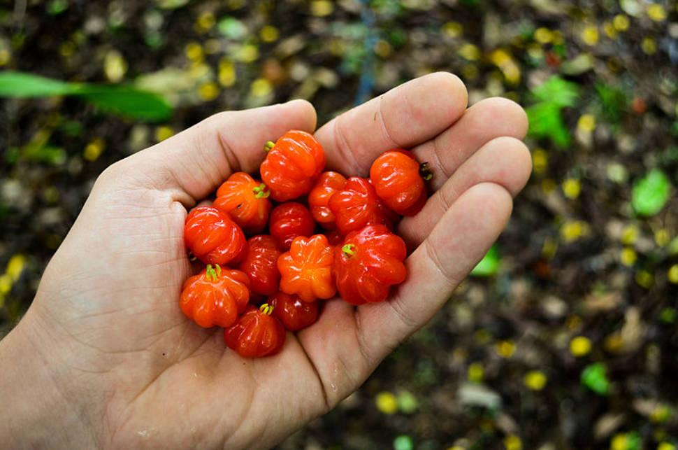 Surinam Cherry in Hawaii - Best Time