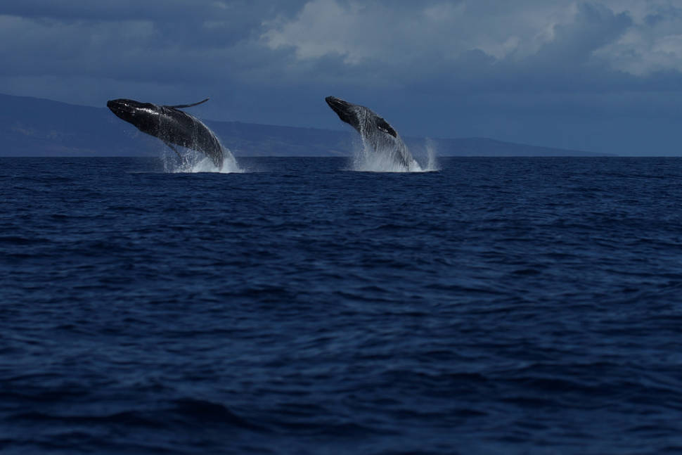 Best time for Whale Watching in Hawaii