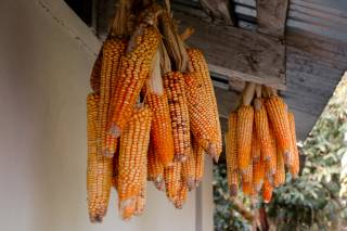 Maíz (Corn) Season