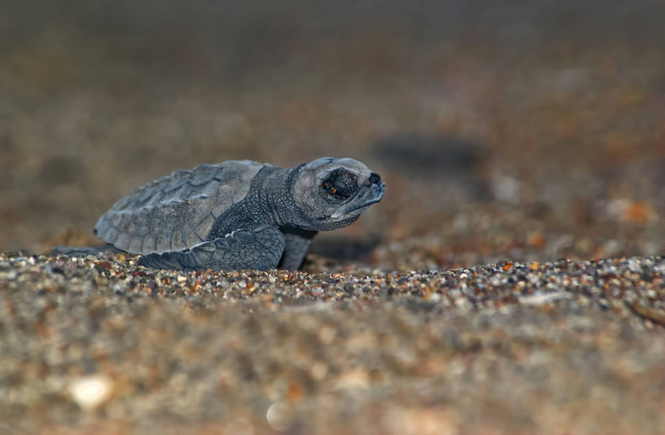 Best time for Sea Turtle Nesting and Hatching in Honduras