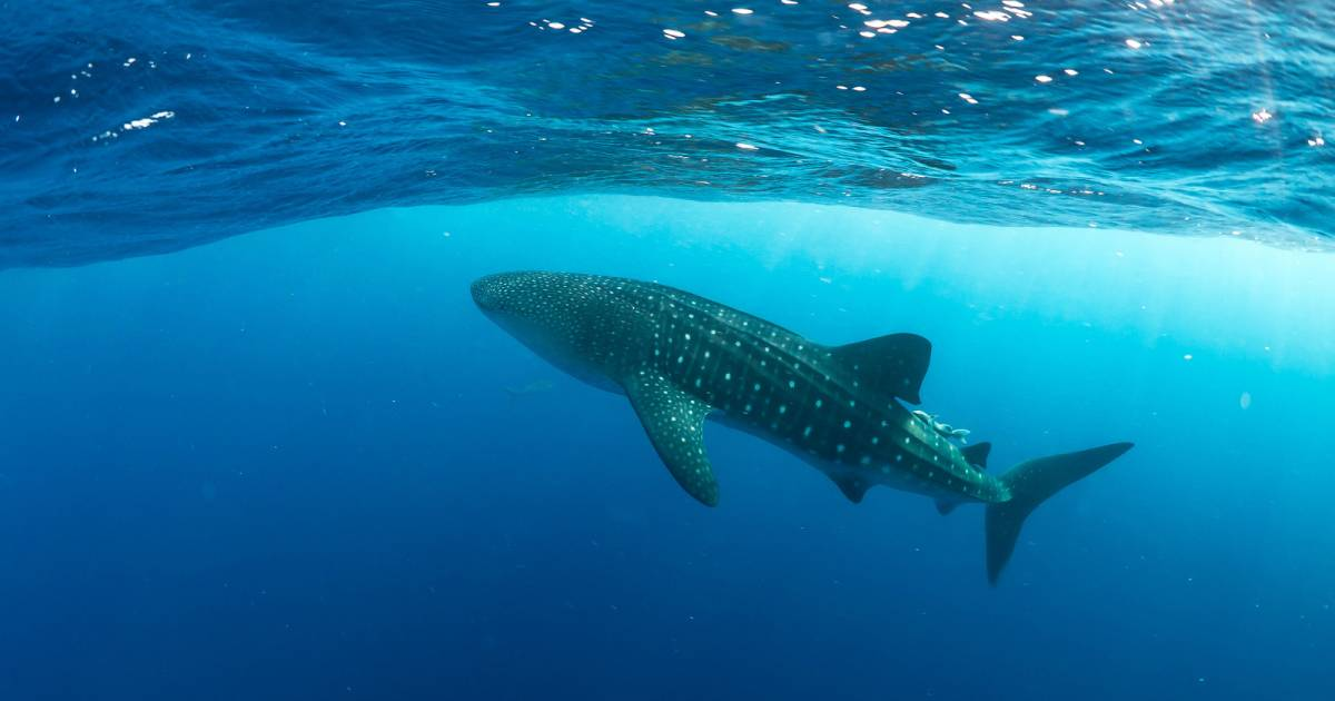 Whale Shark Season around Utila in Honduras - Best Time
