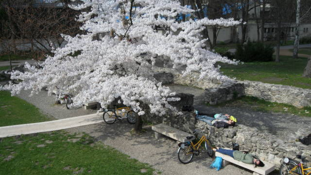 Spring blossoms on the island and resting cyclists