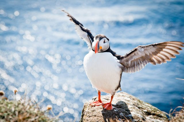 Atlantic Puffins in Iceland - Best Time