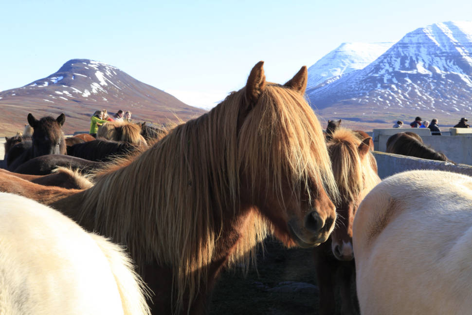 Laufskálarétt in Iceland - Best Time