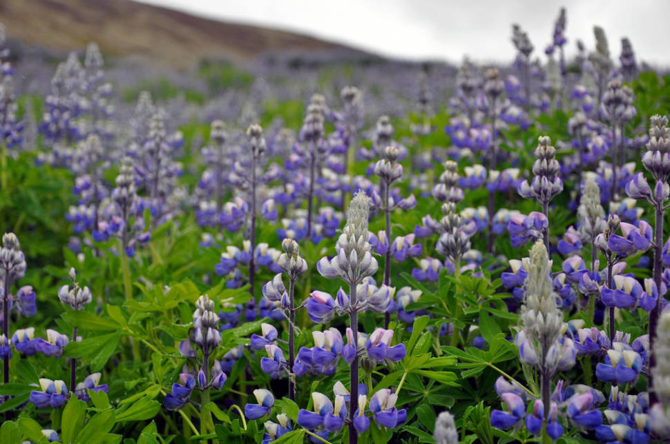 Lupin Blooming in Iceland - Best Season