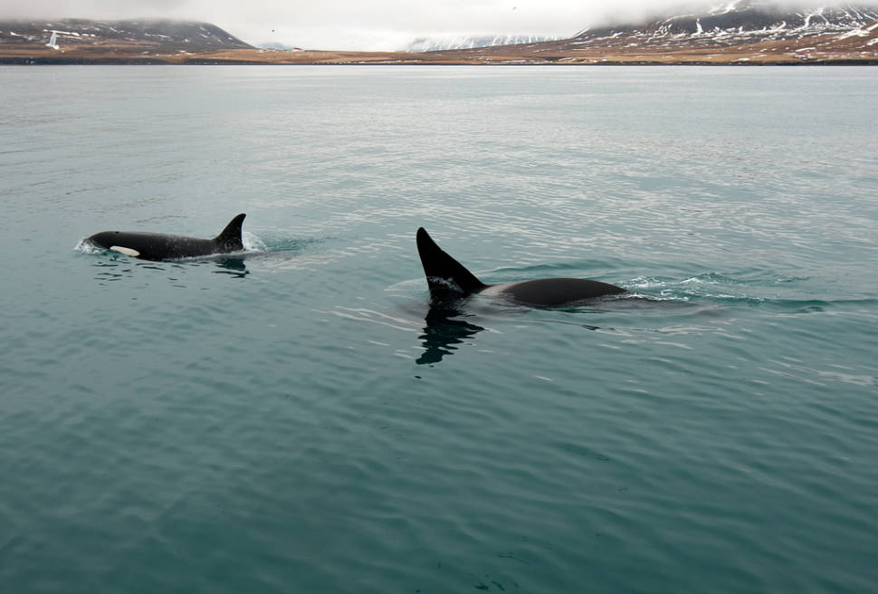 Best time for Orca (Killer) Whale Watching in Iceland