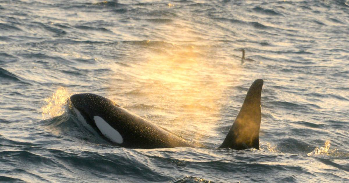 Orca (Killer) Whale Watching in Iceland - Best Time