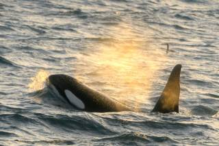 Orca (Killer) Whale Watching