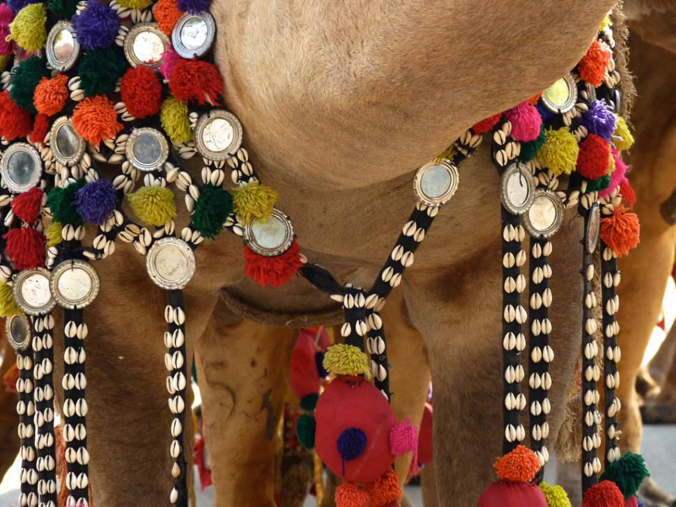 Best time for Bikaner Camel Festival in India