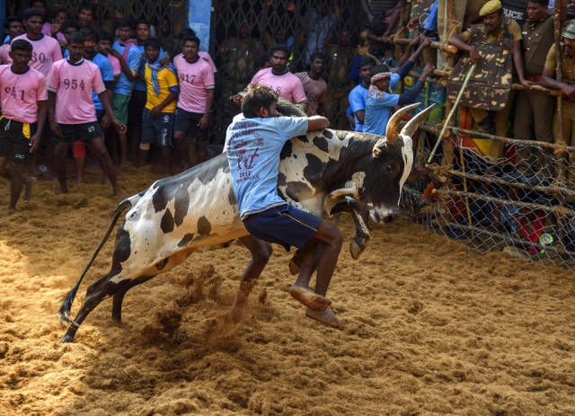 Best time for Jallikattu in India