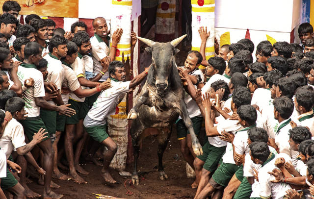 Jallikattu in India - Best Time
