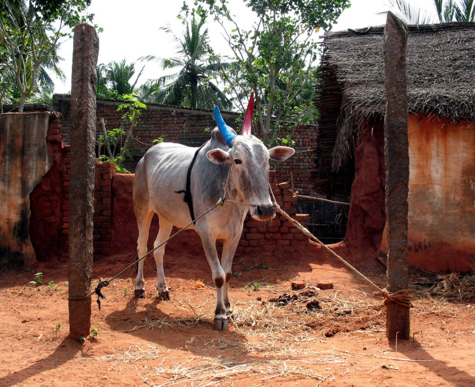 Best time to see Pongal in India