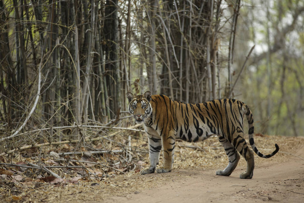 Sub adult tiger spotted in the Bandhavgarh National Park