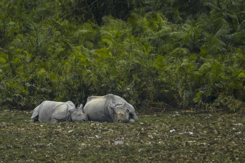 Greater One Horned Rhinoceros or Indian Rhinoceros mother is sleeping with her calf in Kaziranga National Park