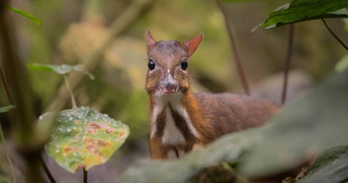 Java Mouse-Deer Breeding in Indonesia - Best Time