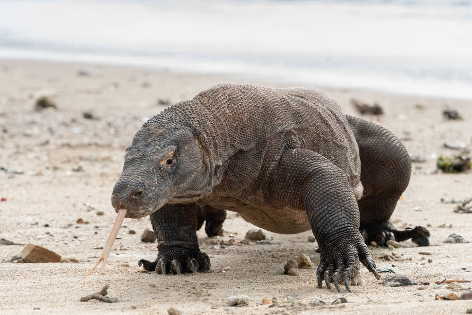Best time to see Komodo Dragons in Indonesia