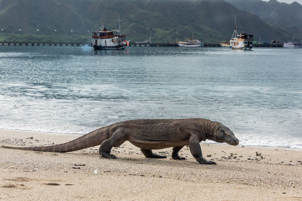Best time for Komodo Dragons in Indonesia