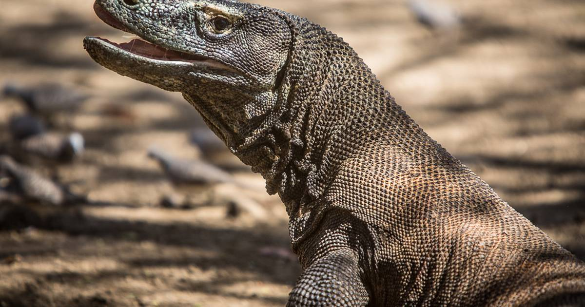 Komodo Dragons in Indonesia - Best Time