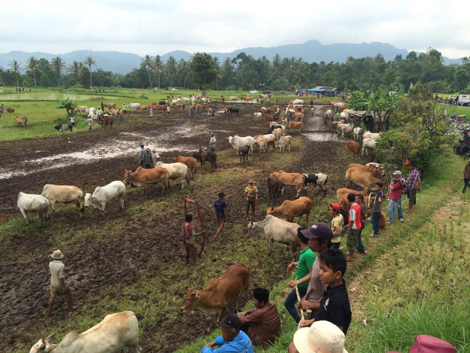 Pacu Jawi (Cow Race) in Indonesia - Best Season