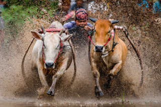 Pacu Jawi (Cow Race)