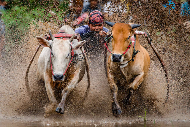 Pacu Jawi (Cow Race) in Indonesia - Best Time