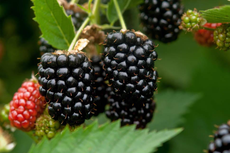 Blackberries in Ireland - Best Time