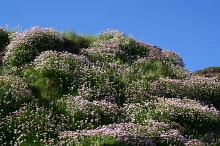 Sea Pinks Blooming Season
