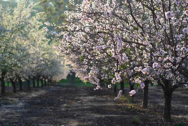 Almond Blossom in Israel - Best Season