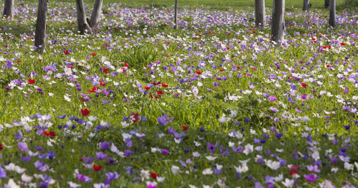 Anemone in Blossom in Israel - Best Time