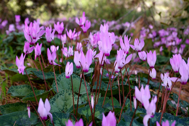 Blooming of Cyclamens in Israel - Best Time