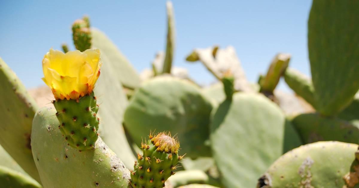 Cactus Flowers Blooming Season in Israel - Best Time